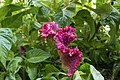 گل تاج خروس-Unidentified Amaranthus in iran 03.jpg