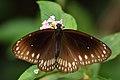 வெண்புள்ளிக் கருப்பன் - Common crow butterfly - Euploea core.jpg