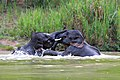 ช้างเอเชีย อุทยานแห่งชาติกุยบุรี.jpg