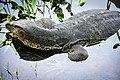 ตะกวด Photographed by Trisorn Triboon-80 (3).jpg