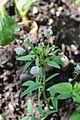 ულუმბო Trigonella caerulea Blue Fenugreek.JPG