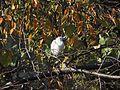 コサギ (小鷺) (Little egret)(Egretta garzetta) (22745443473).jpg