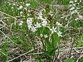 ミツガシワ Menyanthes trifoliata.JPG