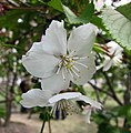 十月櫻 Cerasus x subhirtella 'Autumnalis' -上海辰山植物園 Shanghai Chenshan Botanical Garden- (17057940518).jpg