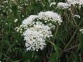 台灣澤蘭 Eupatorium cannabinum asiaticum -台灣清境農場 Cingjing Farm, Taiwan- (15071601883).jpg