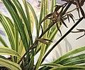 報歲朝霞 Cymbidium sinense 'Morning Glow' -香港沙田國蘭展 Shatin Orchid Show, Hong Kong- (12712612595).jpg