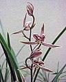 寒蘭紅水仙 Cymbidium kanran 'Red Narcissus' -香港沙田國蘭展 Shatin Orchid Show, Hong Kong- (12304391654).jpg