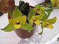 捧心蘭屬 Lycaste aromatica -香港沙田洋蘭展 Shatin Orchid Show, Hong Kong- (9222654058).jpg