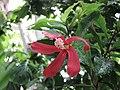 木槿屬 Hibiscus clayi -倫敦植物園 Kew Gardens, London- (9207604164).jpg