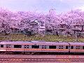 東中野駅西方の線路際の桜並木と菜の花.JPG