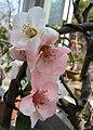東洋錦海棠-石城之韻 Chaenomeles x superba 'Japanese Colour' -南京莫愁湖 Nanjing Mochou Lake, China- (32778130524).jpg