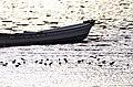 渡り鳥と有明海 - panoramio (1).jpg