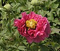牡丹-金環型 Paeonia suffruticosa Golden-ring-series -菏澤曹州牡丹園 Heze, China- (9204833363).jpg