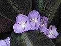 絨氈草 Siderasis fuscata -英格蘭 Wisley Gardens, England- (9200946244).jpg