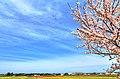 舟川の桜 - panoramio (5).jpg