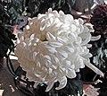 菊花-冰玉 Chrysanthemum morifolium 'Icy Jade' -香港圓玄學院 Hong Kong Yuen Yuen Institute- (11961473113).jpg
