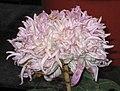 菊花-胭脂點霜 Chrysanthemum morifolium -中山小欖菊花會 Xiaolan Chrysanthemum Show, China- (12064914873).jpg
