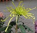 菊花-飛舞型 Chrysanthemum morifolium Dancing-tubular-series -香港圓玄學院 Hong Kong Yuen Yuen Institute- (9219891477).jpg