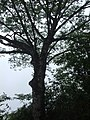 贵州-梵净山-2000梯处一古树 - panoramio.jpg