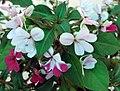 迷你非洲鳳仙花 Impatiens walleriana Mini Hawaiian Series -香港北區花鳥蟲魚展 North District Flower Show, Hong Kong- (9237477539).jpg