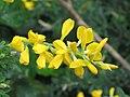 金雀兒花 Cytisus racemosus -香港禮賓府 Hong Kong Government House- (9213336017).jpg