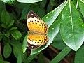 黄襟蛺蝶 Cupha erymanthis - panoramio.jpg