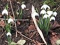 -2019-12-06 Snowdrops on a footpath, Foxhills wood, Frogshall, Northrepps (2).JPG