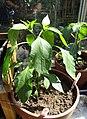 -2020-07-10 Cayenne pepper (Capsicum annuum), Trimingham (1).JPG