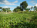 04506jfDomesticated Water Hyacinth Pescadores Poblacion Candaba Pampangafvf 11.JPG