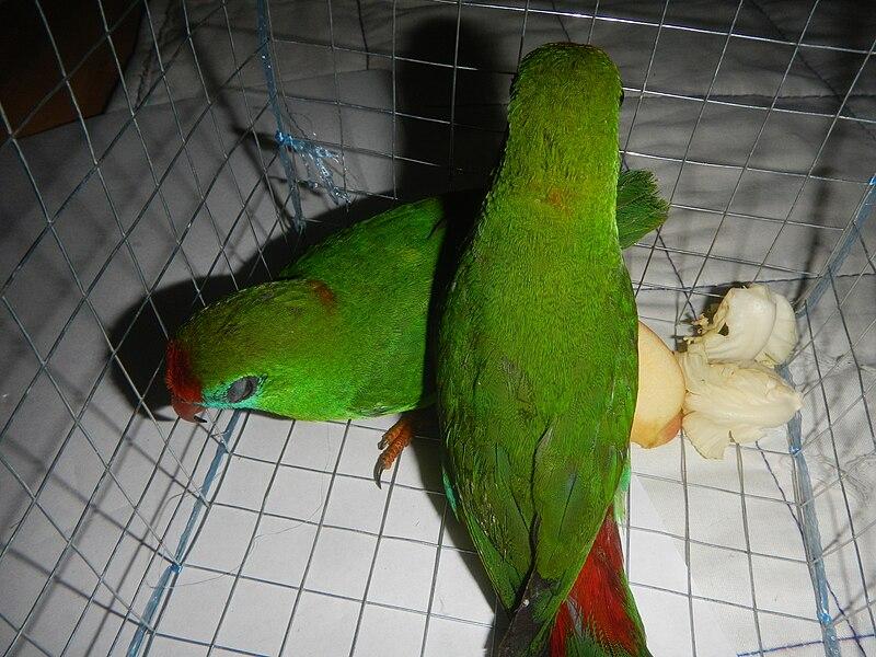 File:09949jfPhilippine Hanging Parrot Bulacanfvf 06.jpg