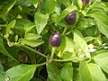 0998Ornamental plants in the Philippines 26.jpg