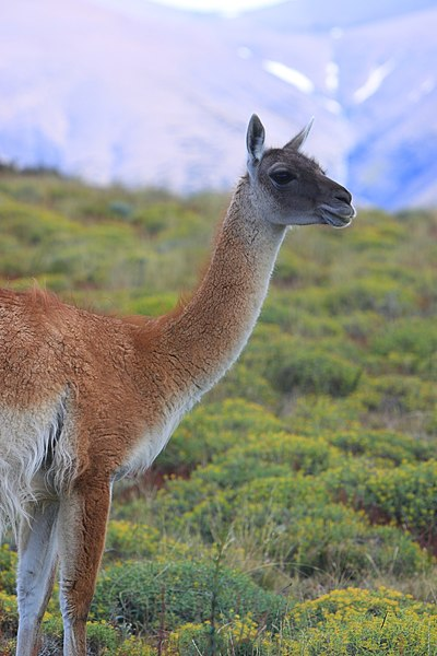 Fichier:170 - Torres del Paines - Guanaco - Janvier 2010.JPG