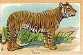 1909-Tigre.jpg