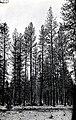 1924. Ponderosa pine defoliated by pandora moth. Klamath Indian Reservation. Oregon. (38166268516).jpg