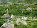 194 Goélands de l'Île Vierge en période de nidification 2.JPG