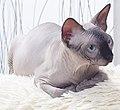 1 adult cat Sphynx. img 042.jpg