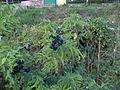 20060814 1736 sambuco.JPG