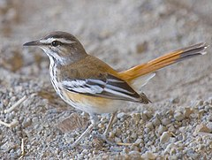 2009-red-backed-scrub-robin.jpg