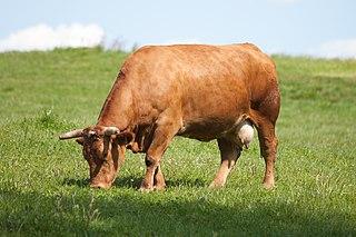 Taurine cattle