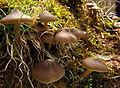 2011-03-22 Entoloma vernum S. Lundell 138021.jpg