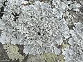2013-01-31 Canoparmelia raunkiaeri (Vain.) Elix 456403.jpg