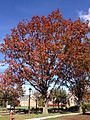 2014-11-02 12 44 58 Red Oak during autumn at The College of New Jersey in Ewing, New Jersey.JPG