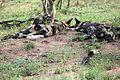 2014-11-23 043 Afrikanischer Wildhund Lycaon pictus anagoria.JPG