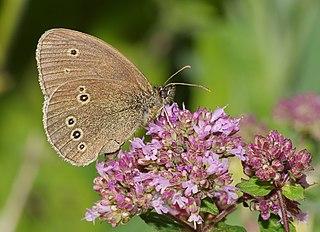 Ringlet Species of butterfly