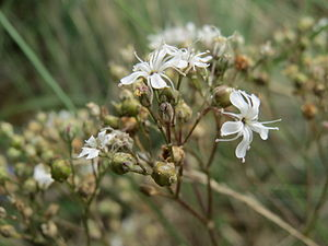 Gypsophila fastigiata - Image: 20140803Gypsophila fastigiata 2