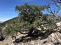 2015-04-28 11 35 18 An older Single-leaf Pinyon on the south wall of Maverick Canyon, Nevada.jpg
