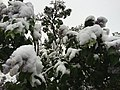 2015-05-07 07 40 39 New leaves and flowers covered by a late spring wet snowfall on Lilacs on South 1st Street in Elko, Nevada.jpg