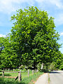 2015-05-14 2.3.2.29 Rotbuche Nachbarsweg158 Mülheim-adR.jpg