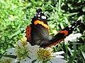 2015-08-19 11.16.12 Amiraali Täpläperhosten heimoon kuuluva päiväperhonen Vanessa atalanta3.jpg
