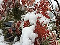 2015-11-02 10 31 55 Snow on a Mountain-Ash's autumn foliage along Brockway Road in Truckee, California.jpg